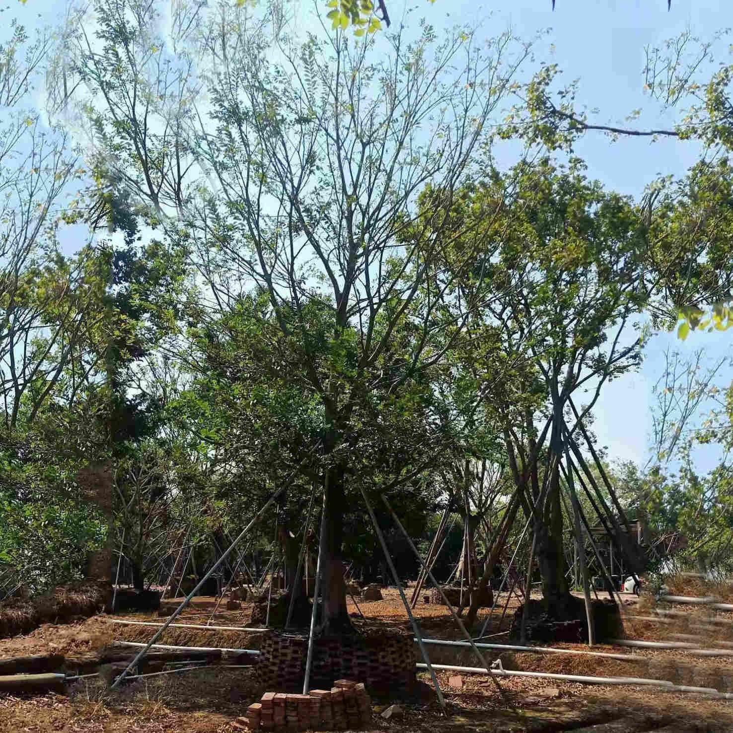 厂家直销朴树苗批发 朴树种植基地供应