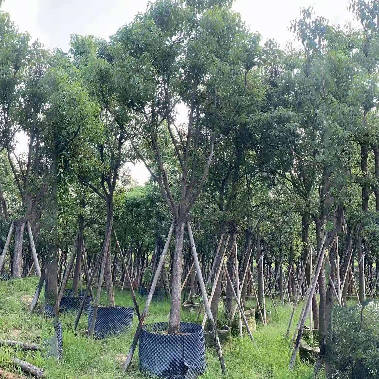 批量供应可移植香樟 精选香樟树苗