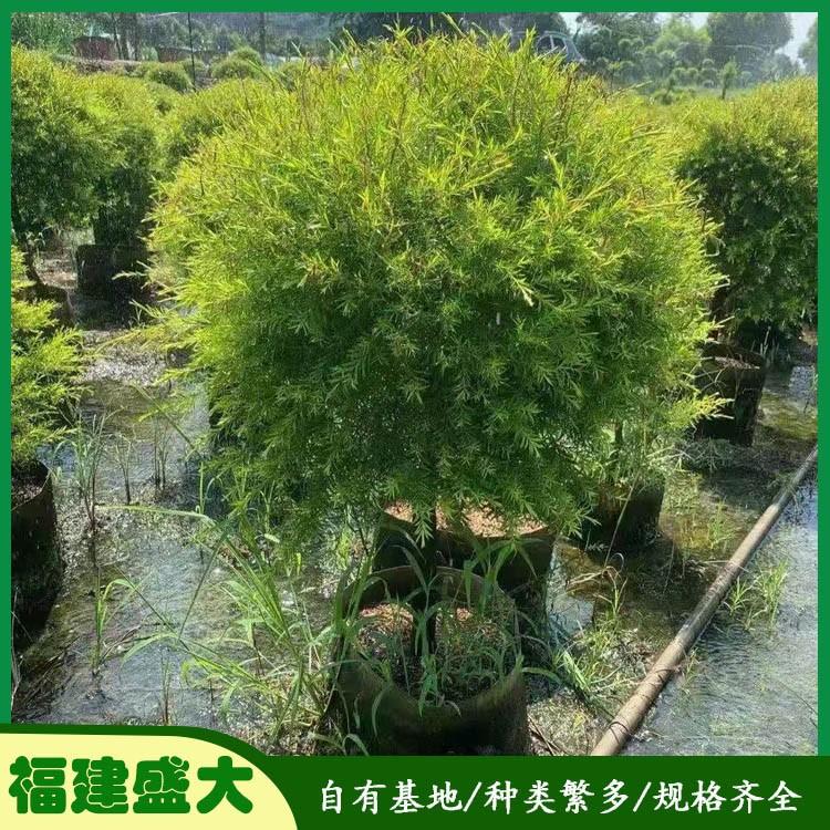 黄金香柳 黄金宝树 造型黄金香柳盆栽 基地直销