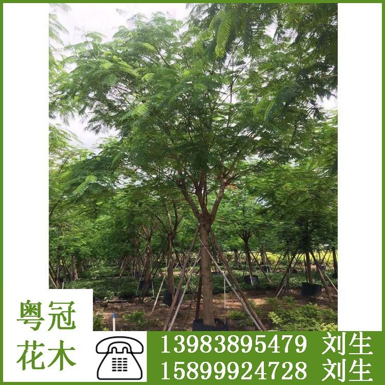 广东粤冠园林 批发凤凰木 凤凰木价格 量大从优