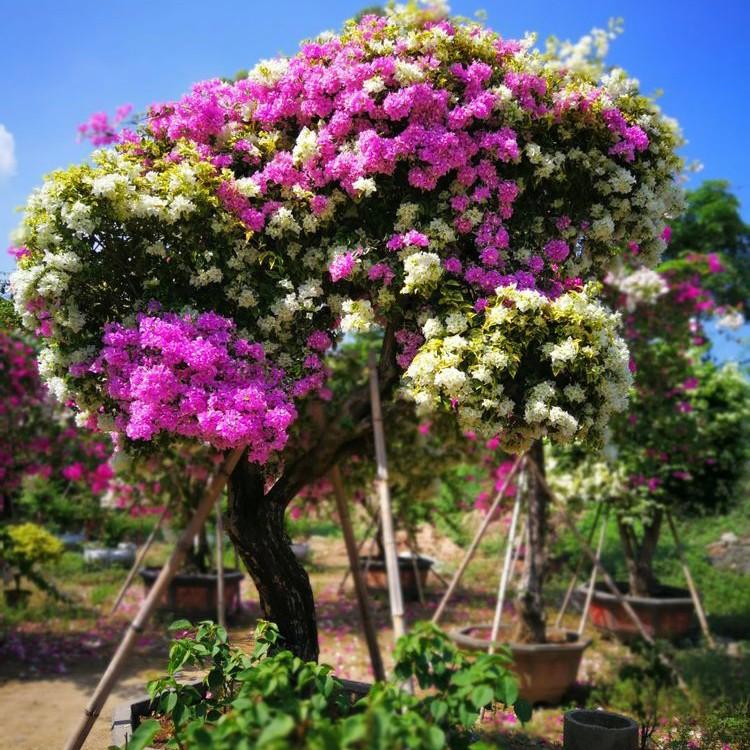 多彩三角梅种植基地 大型三角梅盆栽批发 厂家直销彩色三角梅