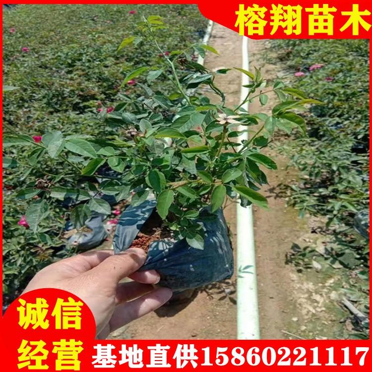 丰花月季批发月季品种规格齐全春季大量供应多色月季苗多花月季袋苗