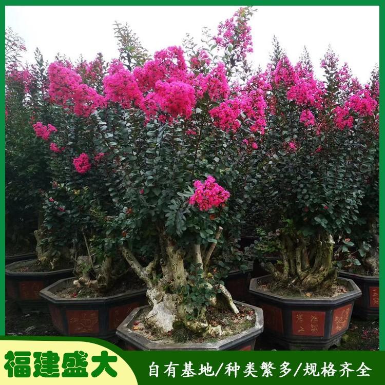 1.5紫薇桩景 专业种植观赏盆景紫薇桩 紫薇桩批发