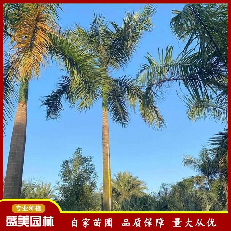 盛美园林大王椰批发 6米大王椰报价 大王椰树 王棕种植基地