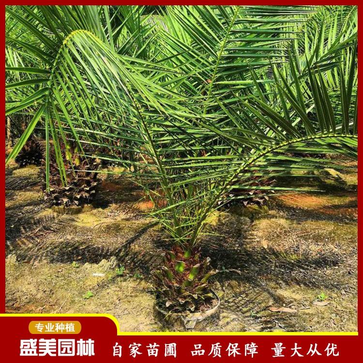 漳州基地供应加拿利海枣 40头加拿利海枣苗批发 产品规格齐全 量大从优