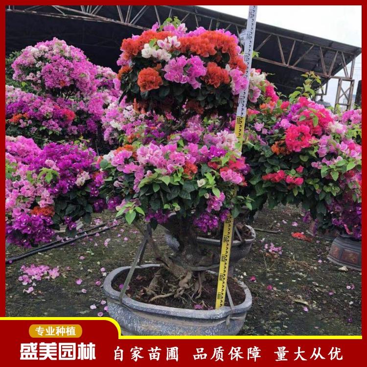 造型三角梅 大型三角梅造型盆栽 多规格三角梅可选 三角梅种植基地