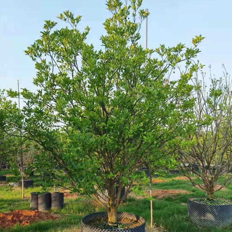 丛生香橼柚子树批发 园林景观树供应 香泡 香橼树基地直销